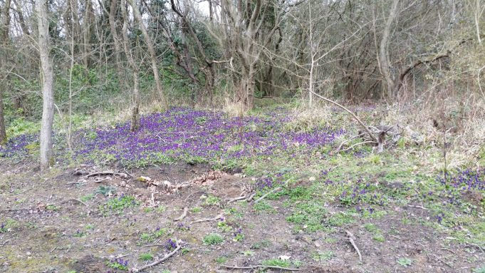 Wild violets at the side of the new paths. | Dave Cowan