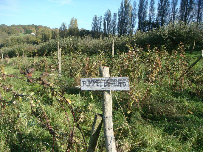 Rows of Tummel berries