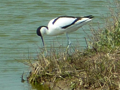 Avocet on the marshes below Benfleet Downs. | Margaret March April 2011