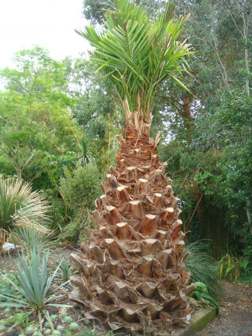 Canary Island Date Palm ( Phoenix Canariensis )