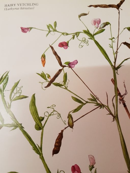 Hairy Vetchling, One of the colour plates in 'Flora of Essex' | Flora of Essex by Stanley T. Jermyn