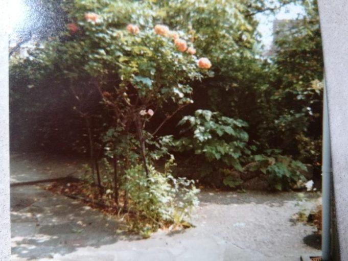 Standard Roses Albinia | Andrew Thrush